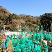 プランター菜園(12月中旬)☆収穫野菜