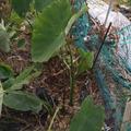 土垂れ里芋をボチボチと収穫〜♪