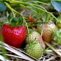 苺の農家さんを訪ねる~~: )