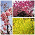 菜の花とお魚のしゃぶしゃぶ♪ Spring Fish Shabushabu