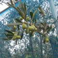 オリーブの栽培、、、、、、(*^。^*)