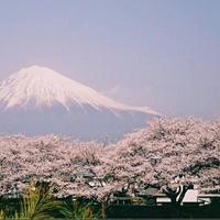 桜の写真、みせて!
