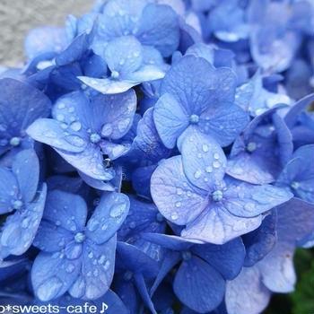 お散歩 * 雨上がりの紫陽花
