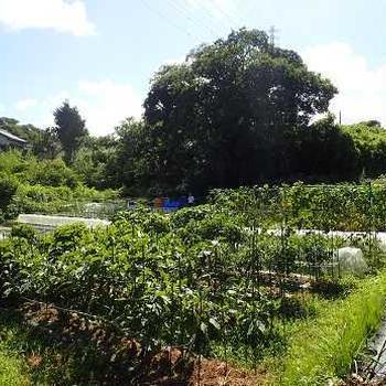 プリンメロン収穫&パプリカ色づく☆葉山農園(7月中旬)