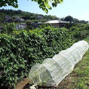カボチャ収穫☆葉山野菜栽培記(7月上旬)