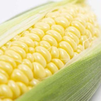 とうもろこし,トウモロコシ,玉蜀黍