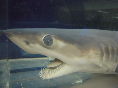 アオザメの画像 p1_23
