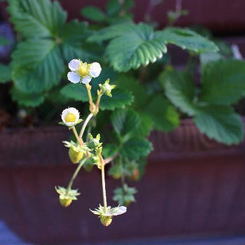今日の庭仕事・・・ワイルドストロベリーが元気♪