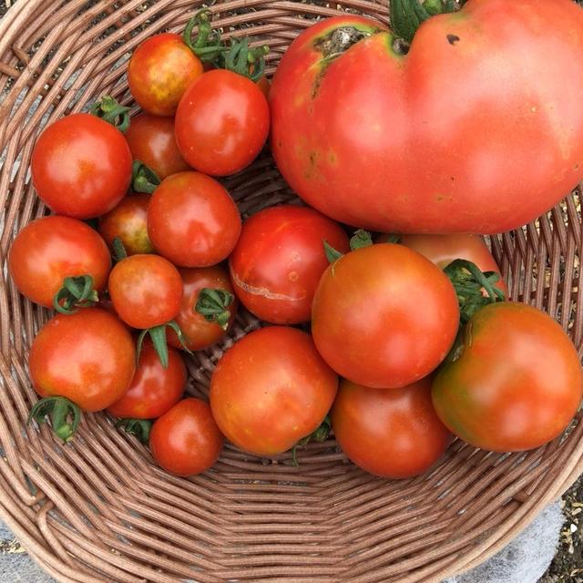 ひとつだけ巨大なトマト