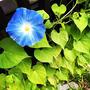 【Instagram】本日は朝顔が開花!梅雨の鬱屈した気持ちが吹っ飛んだ!花の成長に一喜一憂するのも豊かだな#あさがお #アサガオ #朝顔 #開花