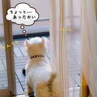 【ウエスティ】今日のお散歩どうする?
