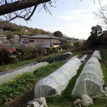 春採りキャベツ結球開始☆葉山野菜栽培記(2月中旬)