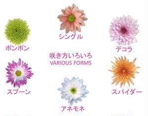 マムの品種開発は主にオランダで行われています。オランダから逆輸入されたマムは、日本で20年以上前から...