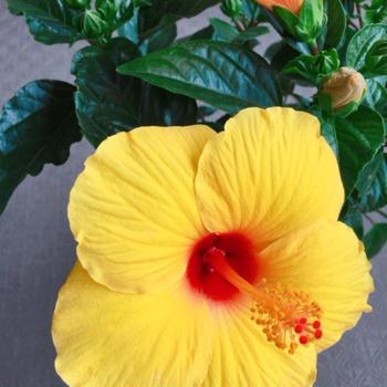黄色のハイビスカスはハワイの州花です。