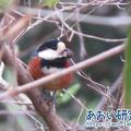 野鳥記録 12 / 2021年4月3日 ヤマガラ (群馬県)