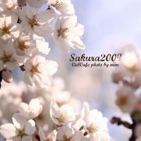+SAKURA+