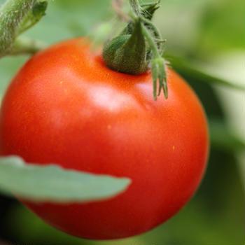 トマトを育てたら悲しくなった話。それと近況報告。