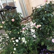 ROSE WEEK ★東京ガーデンテラス紀尾井町