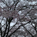 お花見 partⅡ by ベスまゆさん