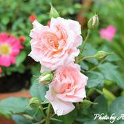 【緊急事態宣言解除】祈りを込めた薔薇♡10種類目のローズ『サマーレディー』が素敵すぎて・・・