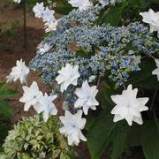 今日のお庭から~我が家の紫陽花~