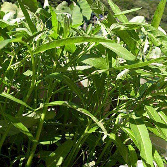 夏の緑黄色野菜プランター栽培de空芯菜レシピ☆秋野菜の種まき準備