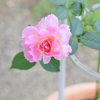 【ローズ日記】良妻賢母のバラ『ペネロペイア』♡大雨の日に鮮やかに開花して・・・♪
