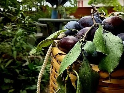 >プルーンの収穫そしてジャム作りへ by IVYおじさんさん