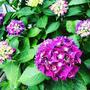 【Instagram】6月。庭の紫陽花。#あじさい #アジサイ #紫陽花