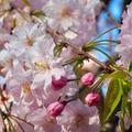♡春のお弁当♡桜のいなり寿司♡
