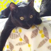 我が家のアイドル!黒猫しじみ君は「福猫」にゃ♪
