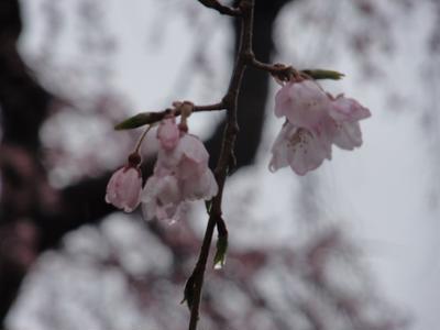 ほんのりピンクの桜の塩味わう♪桜朝食2日目♪