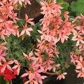 お花が満開....ゼラニウム〜常緑紫陽花〜
