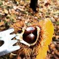Pfalzの森で栗拾い〜バターナッツ南瓜の胡麻和え〜オーブンで焼き栗〜栗ご飯
