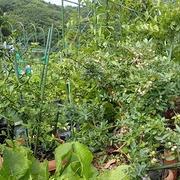 プランター菜園(6月下旬)☆ブルーベリー