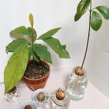 アボカドを食べたら種を栽培&変色防止裏技Eat avocado and grow seeds!