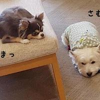 【チワワ&ウエスティ】LINE便り