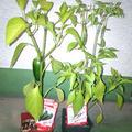 今年は「ハラペーニョ」&「ジャワSPICYトウガラシ」を育ててます♪