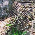 春の風物詩 淡竹(はちく)の収穫 アメリカでも和食