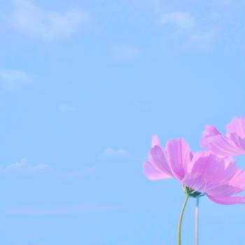 *秋桜と「オートミールのナッツ入りケーキ」
