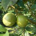 レモンの販売について、、、、、、(*^_^*)