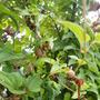 むかご栽培方法☆収穫時期とレシピ
