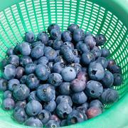 【動画あり】ブルーベリー収穫とホタルと