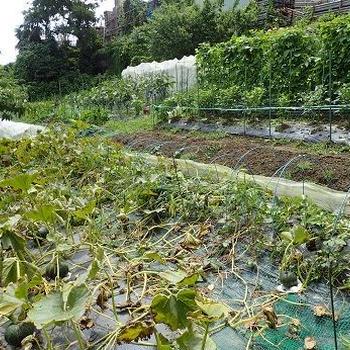 トウモロコシ被害☆葉山野菜栽培記(7月初旬)