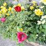【 ビオラの花ガラ摘みが好きです 】