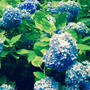 まだまだ紫陽花(*^^*)