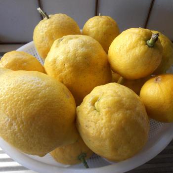 自宅栽培のレモン レモンとツナのパスタ