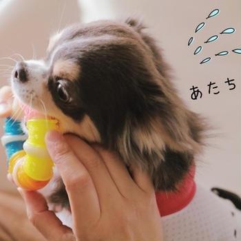 【チワワ&ウエスティ】大人気ない飼い主