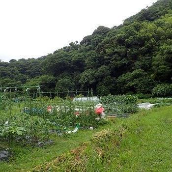 秋採りトウモロコシ種まき☆葉山農園(7月初旬)