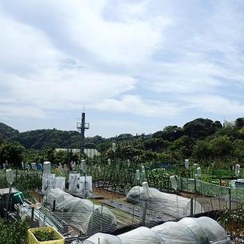 小さな菜園(5月上旬)☆ラッカセイのマルチ栽培&コンパニオンプランツ